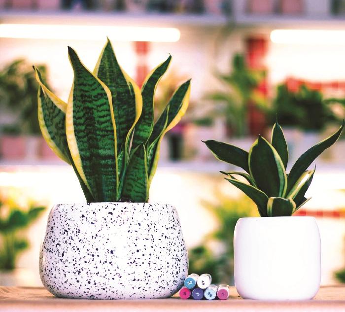 Các loại cây có tác dụng thanh lọc không khí